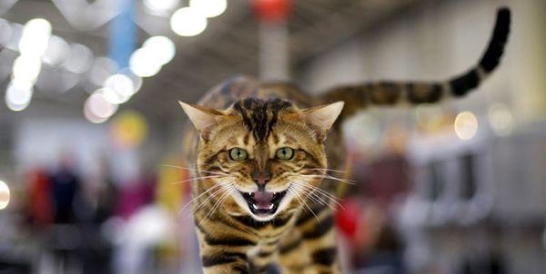 «فشنشو گربهها» در پایتخت با مجوزهای دروغین 100 صفحهای+ عکس
