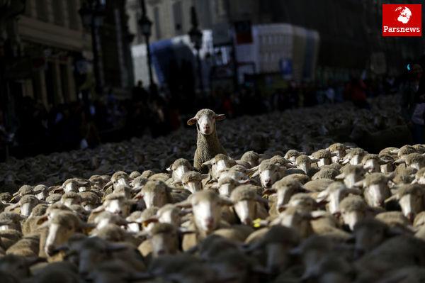 عکس/ گله گوسفند در وسط شهر