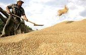 146 هزار تُن گندم در دیواندره خریداری شد