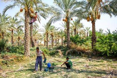 برداشت رطب توسط جوانان روستای نظرآقا