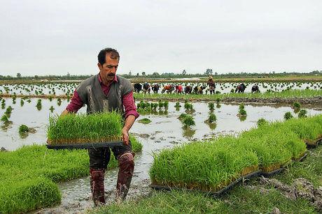 کاهش نیاز آبی برنج در شالیزارهای گیلان