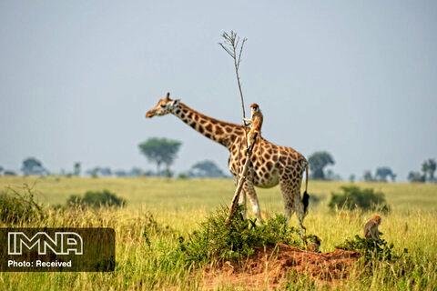 میمونه زرافه ران عکاس Dirk-Jan Steehouwer اوگاندا