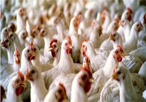 افت شدید قیمت مرغ در بازار