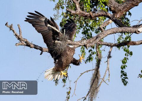 عجب عقاب سرسفید باشکوه و برازنده ای عکاس David Eppley جنوب غربی فلوریدا