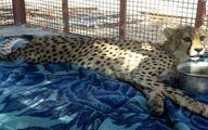 تشریح آخرین وضعیت یوزپلنگ نر آسیب دیده