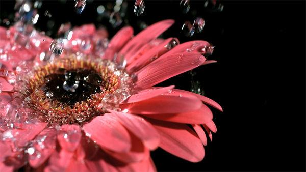 جشنواره گلهای داودی در باغ گیاه شناسی ملی + فیلم