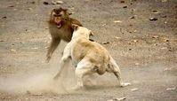 درگیری خشن میمون با سگ + فیلم