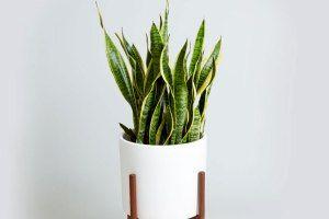 این گیاه خانگی امواج مضر وای فای را جذب میکند! عکس
