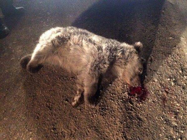 هر 45 روز یک خرس در این جاده میمیرد!