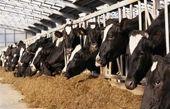 دلیل گرانی گوشت از زبان رییس اتحادیه دامداران