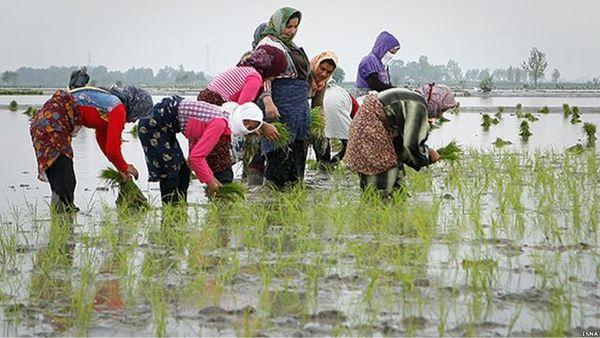 محدود شدن کشت برنج در گیلان و مازندران