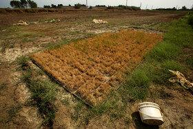 خزانه شالی برنج یک کشاورز به علت خشکسالی و نبود آب رها شده است.