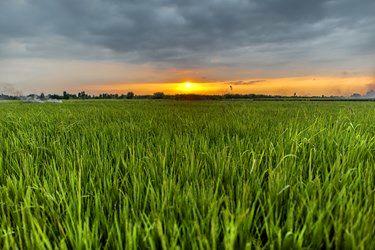 مزارع برنج در شهرستان جوییبار استان مازندران