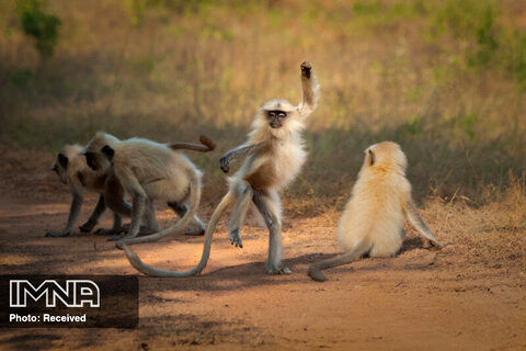 رقص پر شکوه و متوازن عکاس Sarosh Lodhi پناهگاه حیات وحش تادوبا آنداری تایگر هند