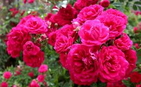 خواص درمانی بی نظیر گل محمدی