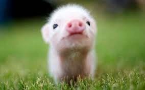 تتو روی خوک!