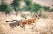 تصاویر   فرار آهو از چنگ ۲ یوزپلنگ