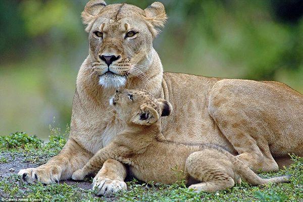 قهر بامزه توله شیر با مادرش به خاطر یک شوخی+ فیلم
