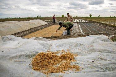 کشت برنج مراحل مختلفی دارد از جمله کاشت که کشاورزان در مرحله اول کار خود را شروع میکنند