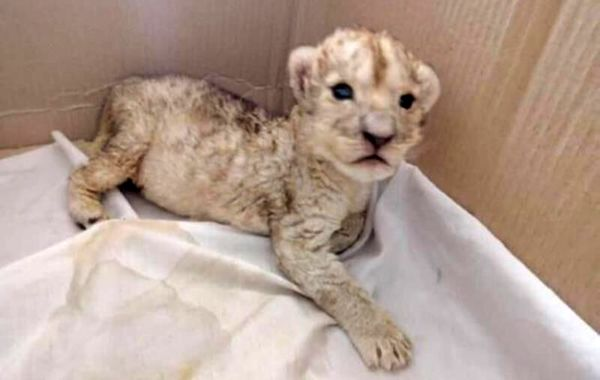 توضیحی درباره علت مرگ شیر سفید باغ وحش هویزه