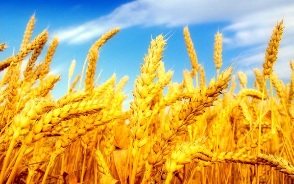 تولید 21 هزار و 760 تن گندم در سبزوار