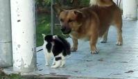 حمله شجاعانه یک گربه به سگ برای دفاع از کودک+ فیلم