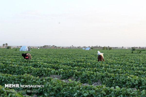 برداشت محصول خیار سبز از مزارع کشاورزی هشتبندی
