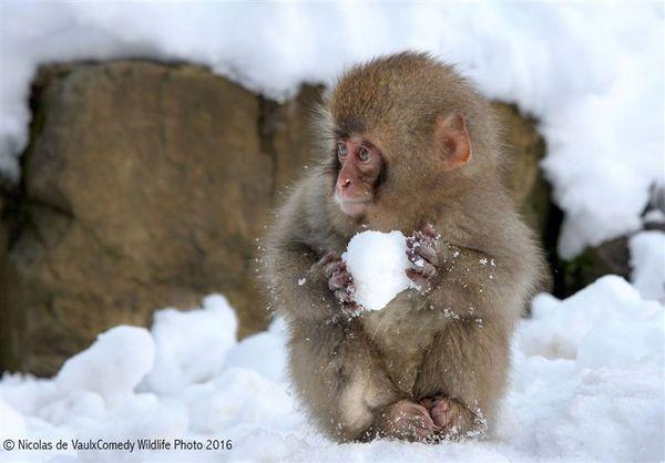 مزاحمت یک بچه میمون برای اهالی نارمک تهران! +عکس