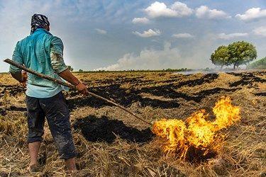 پس از برداشت برنج ساقه ها اضافه آنها را کشاورزان میسوزانند تا زمین را اماده کشت دوم کنند