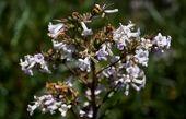 درمان آلزایمر با گیاه دارویی «یربا سانتا»