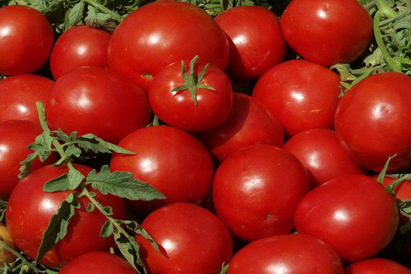 مهندسی ژنتیک طعم گوجه فرنگی را تند می کند