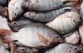 فواید خوردن ماهی در دوران بارداری