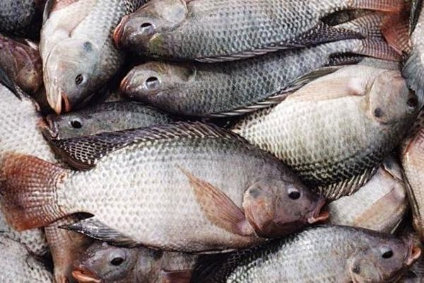خواص بی نظیر ماهی قزل آلا برای قلب و مغز