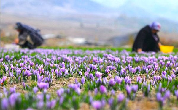 قیمت زعفران ۴۰۰ هزار تومان کاهش یافت