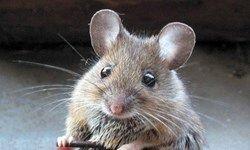 انتقال موشهای زنده به پایتخت توسط شرکتهای پیمانکاری!؟