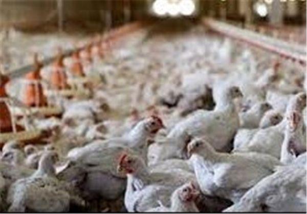 پرورش مرغ بومی برای تولید گوشت سفید ارگانیک