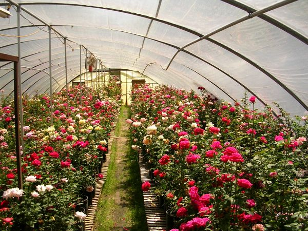پرورش گل باکیفیت در دل کویر + فیلم