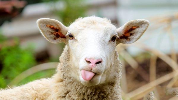 چگونه گوسفند زنده برای ایام محرم بخریم؟