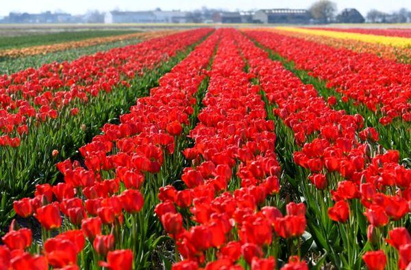 تصاویری دیدنی از مزارع گل لاله در هلند