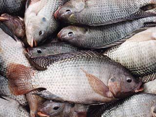 ماهی نباید بیش از دو الی سه روز در یخچال بماند